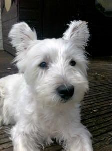 Bounty - West Highland Terrier