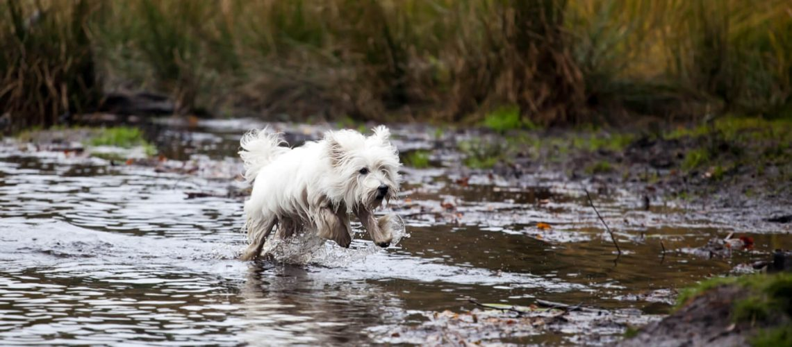 West Highland White Terrier running in water